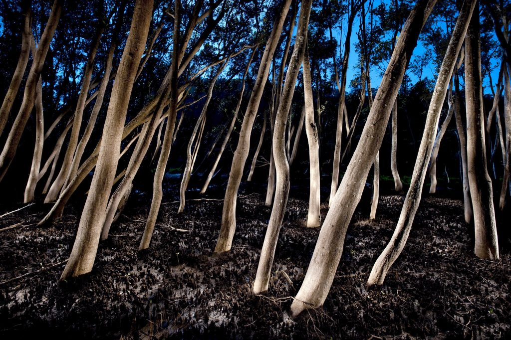 Mangrove Forest #2, Hawkesbury River 2010